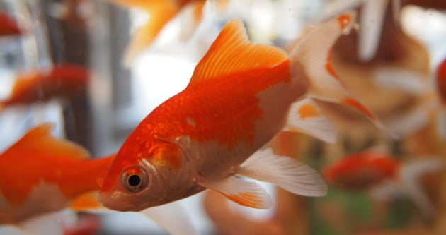 Goldfish Have A Better Attention Span